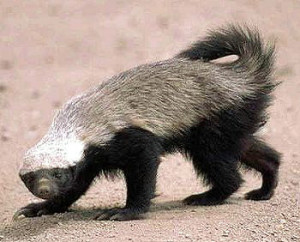 Picture of honey badger